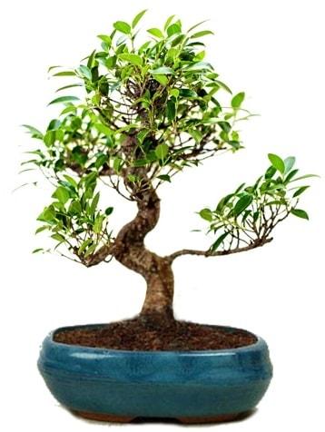25 cm ile 30 cm aralığında Ficus S bonsai  Artvin çiçek gönderme sitemiz güvenlidir