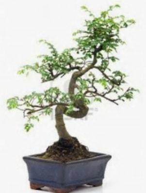 S gövde bonsai minyatür ağaç japon ağacı  Artvin çiçek satışı