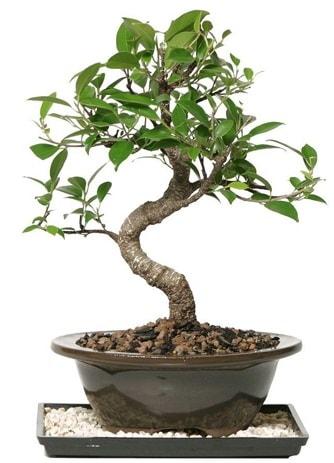 Altın kalite Ficus S bonsai  Artvin çiçekçi telefonları  Süper Kalite