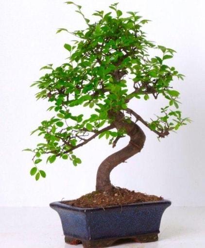 S gövdeli bonsai minyatür ağaç japon ağacı  Artvin çiçek gönderme sitemiz güvenlidir