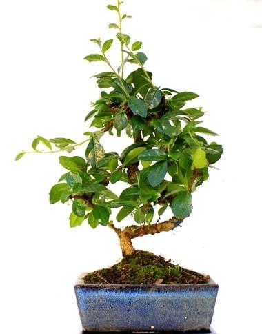 S gövdeli carmina bonsai ağacı  Artvin çiçek yolla  Minyatür ağaç