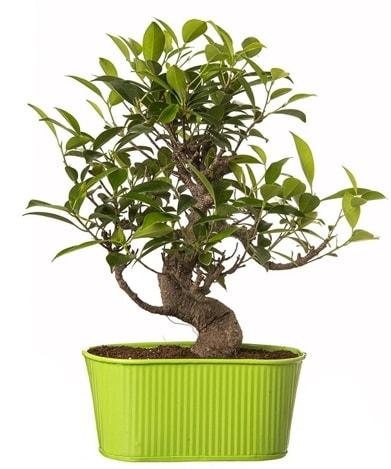 Ficus S gövdeli muhteşem bonsai  Artvin çiçek siparişi sitesi