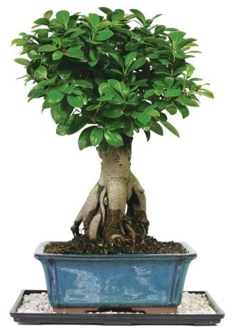 Bonsai Ginsing Grafted Ficus Bonsai  Artvin çiçek yolla