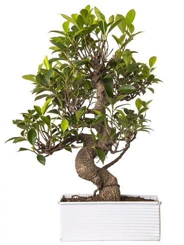 Exotic Green S Gövde 6 Year Ficus Bonsai  Artvin çiçek gönderme sitemiz güvenlidir